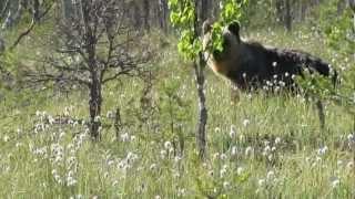 Дикий медведь в лесу Ленинградской области май 2012 года