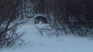 Волки в Башкирии сьели собаку 2020