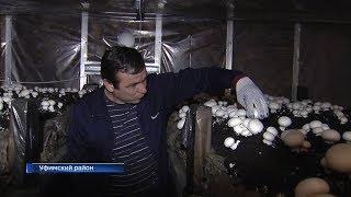 Предприниматель из Башкирии выращивает более тонны шампиньонов в месяц