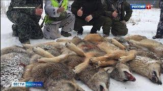 Охотники объявили войну костромским волкам