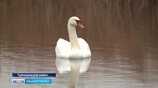 На озере Кандры-Куль в Башкирии обосновались лебеди