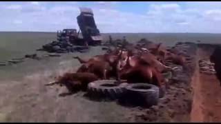 Уничтожение КРС в Ики-Буруле (Калмыкия) в связи с ящуром. 29 мая 2016 г.