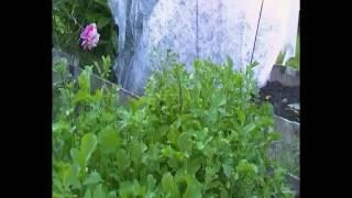 как растет руккола у нас на огороде
