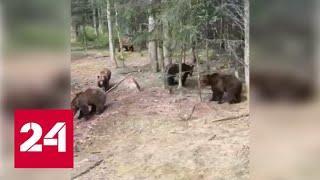 Одиннадцать голодных медведей окружили грузовик и попали на видео - Россия 24