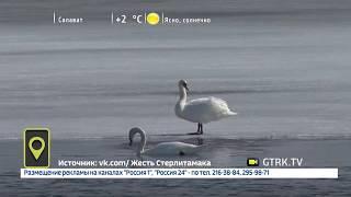 В водоемах Башкирии появились лебеди