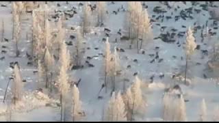 Волки приближаются к Татарскому району...