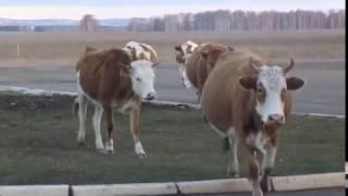 В Баймакском районе в суд передано дело о краже скота...