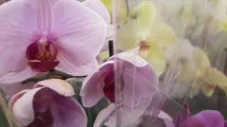 Обзор орхидей  МЕГАСТРОЙ  26.05.2019Г