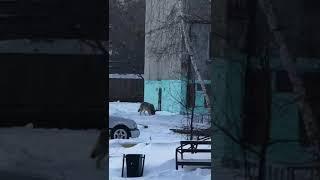 Волки на улицах г. Стерлитамака Башкортостана