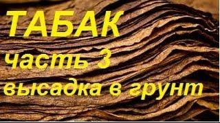 Как вырастить табак курительный в Сибири