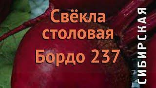 Свекла столовый Бордо 237 (bordo 237) ???? свекла Бордо 237 обзор: как сажать семена свеклы Бордо 23