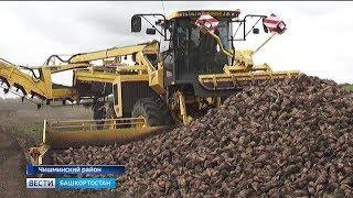 Четыре района республики приступили к уборке сахарной свёклы