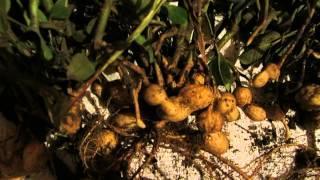 Выращиваем арахис(часть1).
