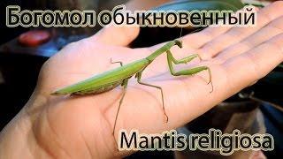 Богомол обыкновенный. Уфа, Башкортостан / Mantis religiosa. Ufa, Bashkortostan