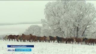 Что такое тебенёвка и как она проходит в Башкирии: репортаж «Вестей»