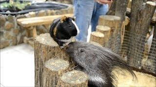 Свинка и дикобраз стали друзьями