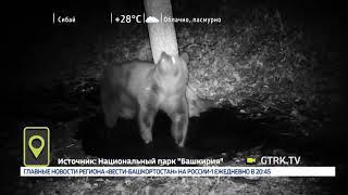 В нацпарке «Башкирия» видеоловушка засняла медвежий тверк