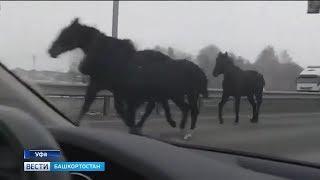 Сбежавшие лошади устроили скачки на трассе Уфа – Аэропорт:
