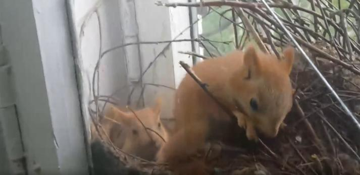 Белка с бельчатами свила гнездо в окне