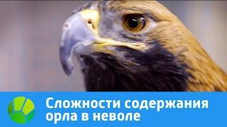 Сложности содержания орла в неволе   Живая Планета