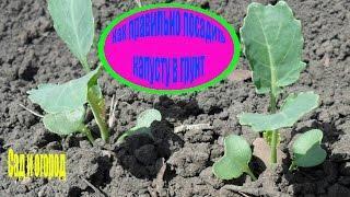 Как правильно посадить капусту в грунт. Сад и огород выпуск 158