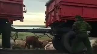 КамАЗ врезался в стадо коров в Павлодарской области