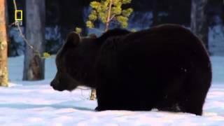 Бурый медведь после спячки