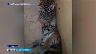 Полосатое потомство: в уфимском передвижном зоопарке родились тигрята