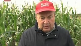 Эксперимент по выращиванию кукурузы проходит успешно