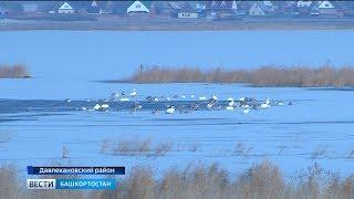 На озере Аслыкуль обосновались более 50 лебедей