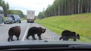 Медведи на дорогах России.  Ой, ма-моч-ки! Медведи глазами водителей