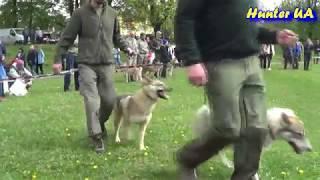 X Городоцька виставка мисливських собак ринг лайок