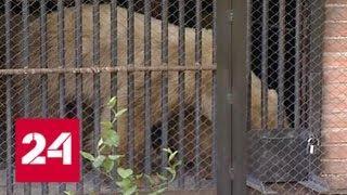 Белую медведицу, пугавшую норильчан, доставили в реабилитационный центр - Россия 24