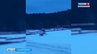 Дикие волки активировались в одном из районов Башкирии