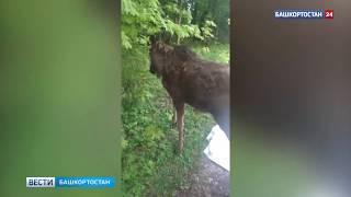 В Башкирии по улицам города прогуливался лось, любивший позировать
