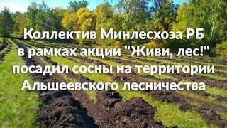 Коллектив Минлесхоза РБ посадил сосны на территории Альшеевского лесничества