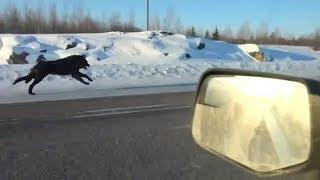 Нашу машину после аварии окружили волки. В то, что произошло дальше, сложно поверить.