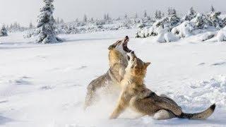 Голодные волки держат в страхе жителей Жамбылской области Казахстана