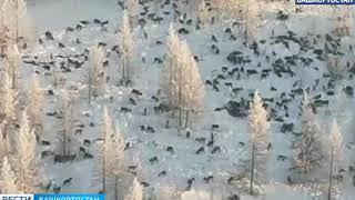 Волки в челябинской области вся правда !стая из 300 волков нападают на деревни и раздерают скот !