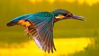 Зимородок рыбачит | Film Studio Aves