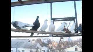 Белгородец разводит голубей уникальных пород