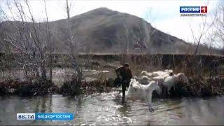ВИДЕО: В Башкирии мужчина учит коз плавать