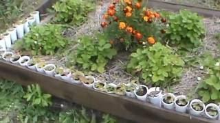 Выращивание мелкоплодной земляники. Часть 3. Получение урожая.