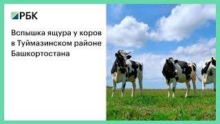 Вспышка ящура у коров в Туймазинском районе Башкортостана