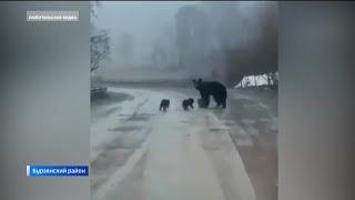 «Косолапые набеги»: Почему в Башкирии медведи стали чаще выходить к людям и что делать при встрече?