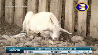 В Башкирии волки вышли на охоту.