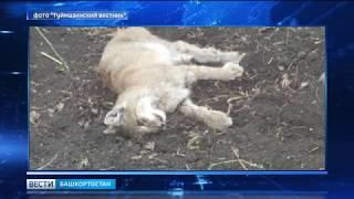 В Башкирии рысь напала на человека