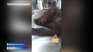 На границе Башкирии и Челябинской области нашли истощенного медвежонка