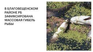 В БЛАГОВЕЩЕНСКОМ РАЙОНЕ РБ ЗАФИКСИРОВАНА МАССОВАЯ ГИБЕЛЬ РЫБЫ