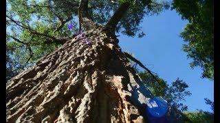 Одиночное дерево-долгожитель – столетняя белая ива Salix alba растет в Уфимском лесничестве